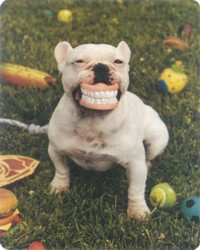 dentalfrenchbulldog.jpg