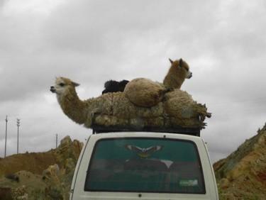 Llamas2.jpg