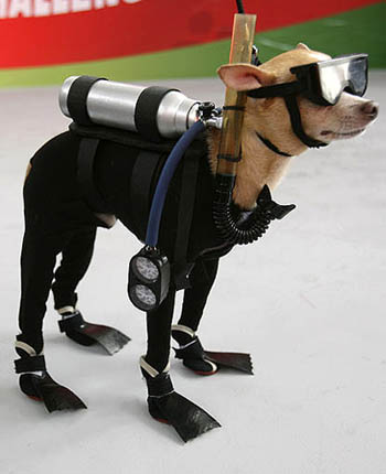 scuba-diving-chihuahua-01.jpg