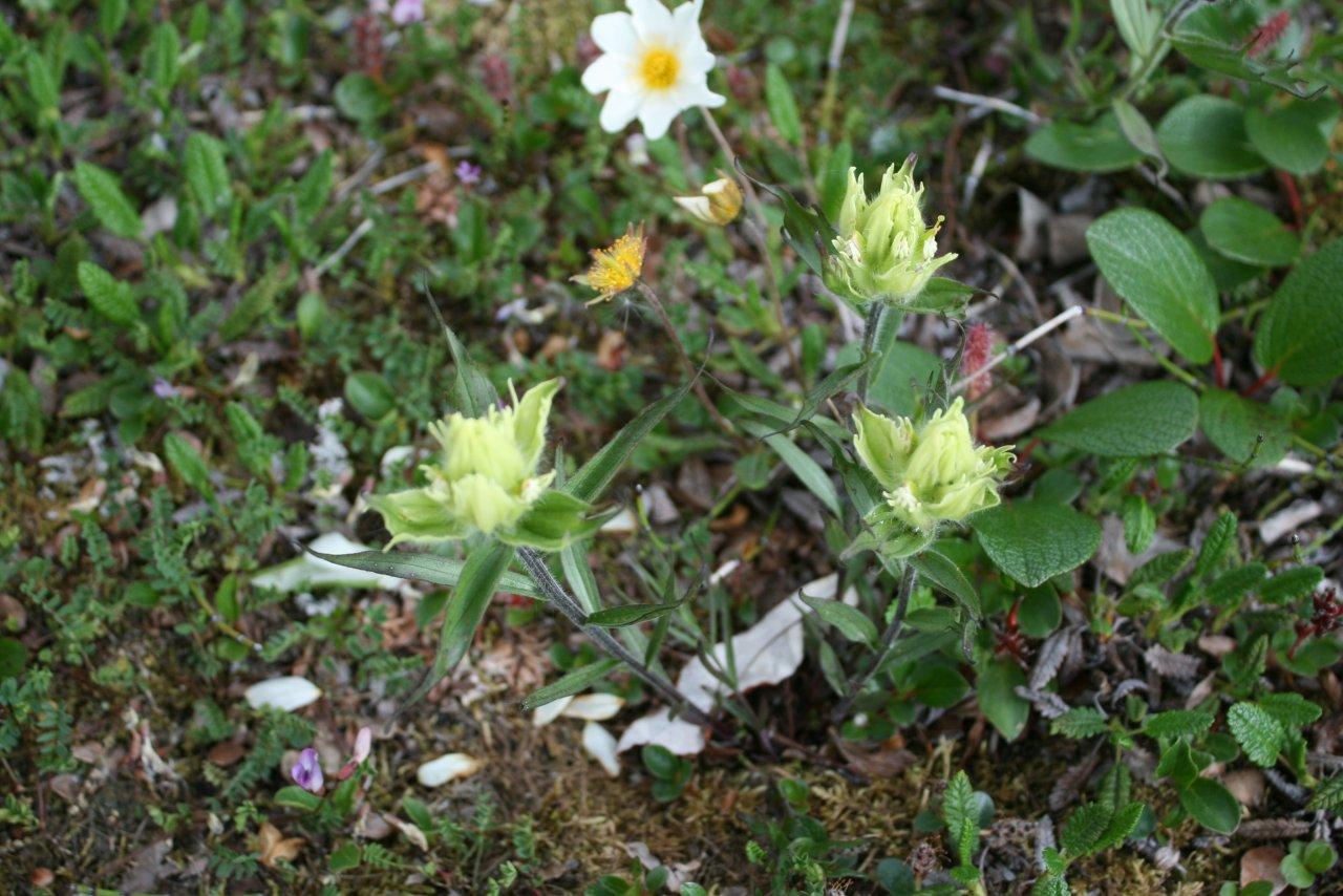 tundra flowers 3.jpg